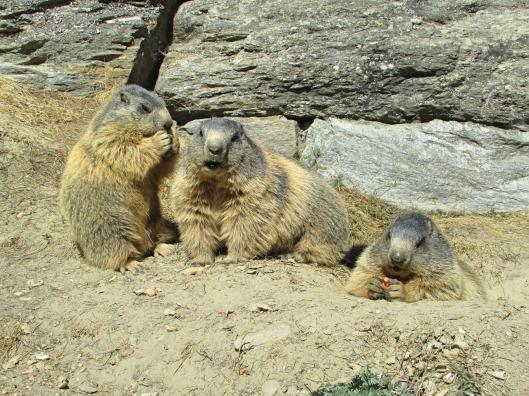 Marmotte di Saas Fee © Jordan Lessona